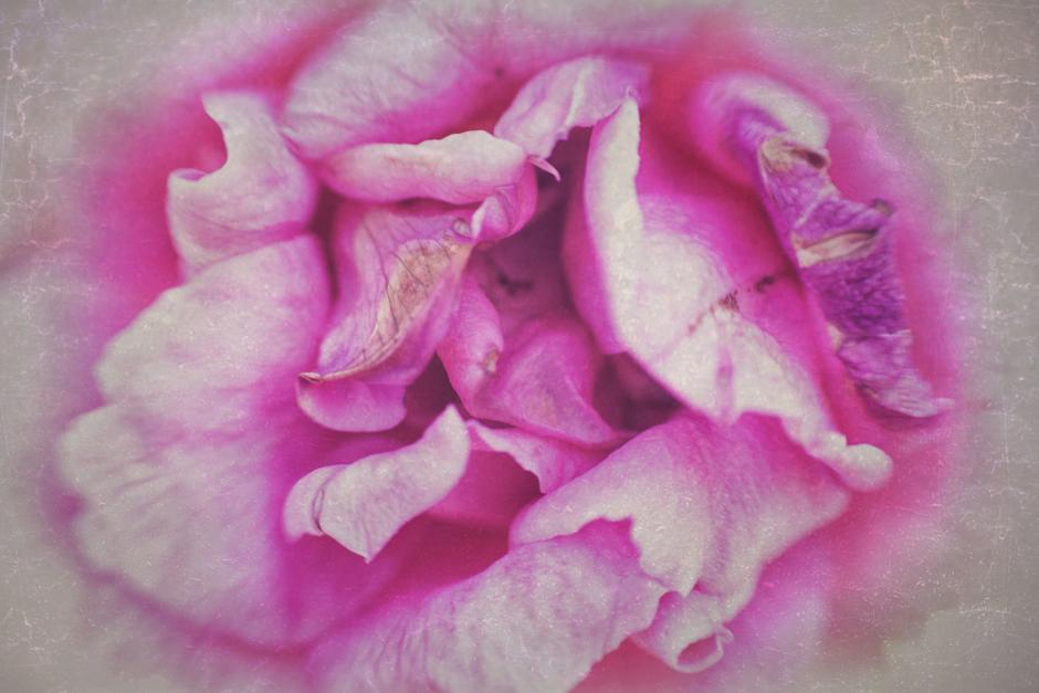 Old rose, pretty rose |Fotografía de Eva Ortiz | Compra arte en Flecha.es