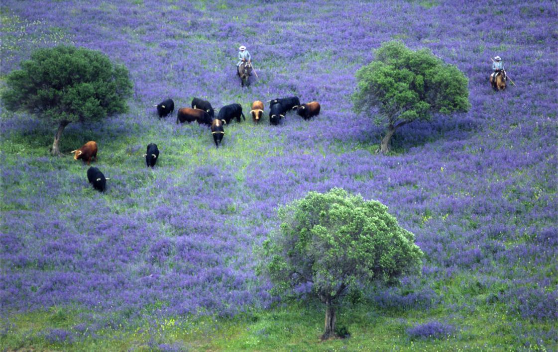 Toros preparados para la lidia |Fotografía de Peter Müller Peter | Compra arte en Flecha.es