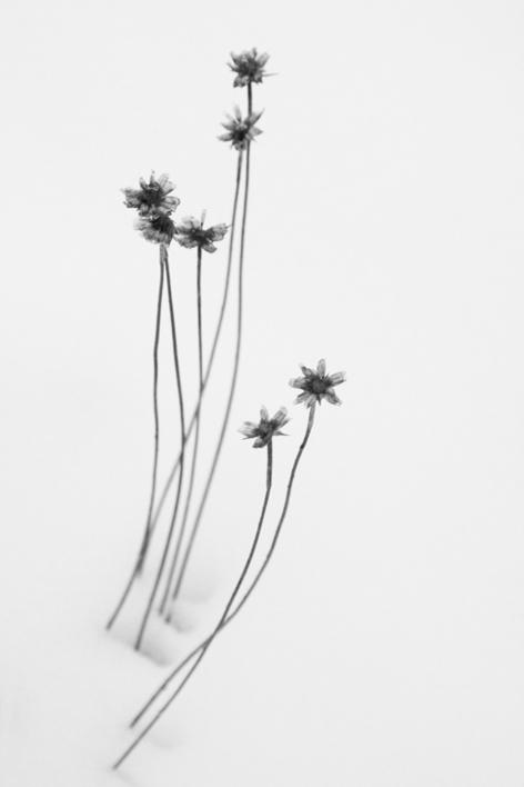 Flores en la nieve  Fotografía de Verónica Velasco Barthel   Compra arte en Flecha.es