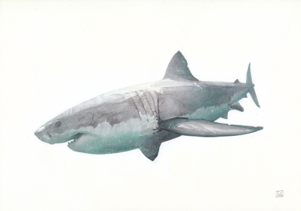 The Great White Shark 01 |Dibujo de Carlos J. Márquez | Compra arte en Flecha.es