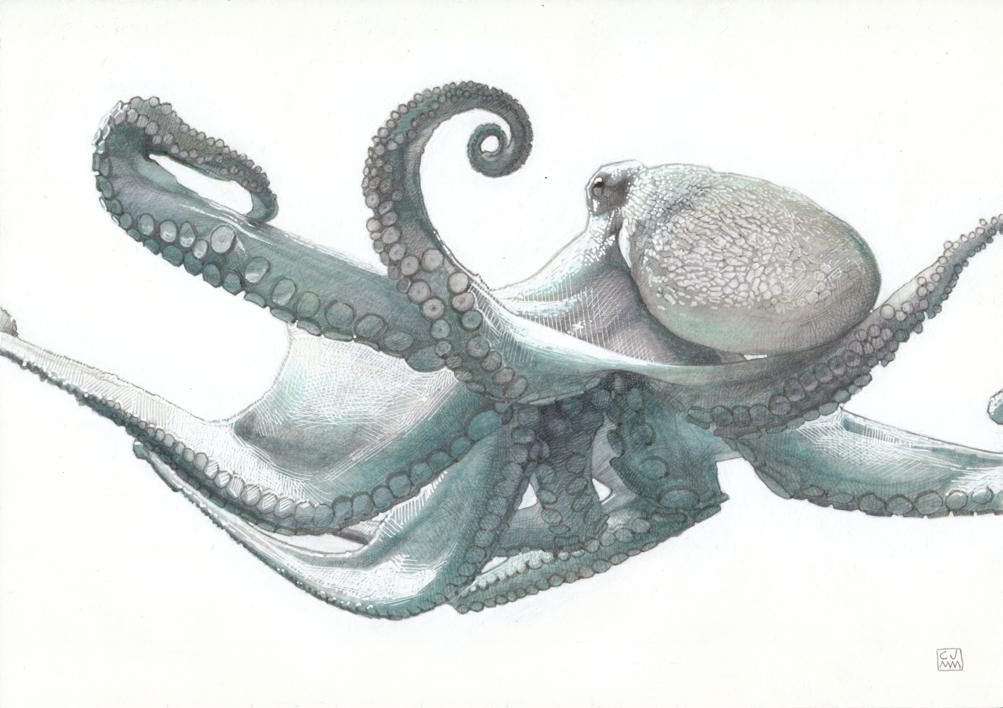 Octopus Vulgaris 02  Dibujo de Carlos J. Márquez   Compra arte en Flecha.es