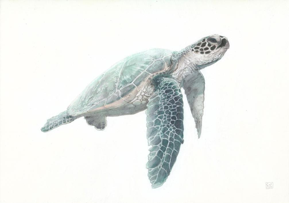 Green Sea Turtle 02 -SOLD-  Dibujo de Carlos J. Márquez   Compra arte en Flecha.es