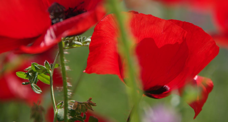 El campo se tiñe de rojo |Fotografía de Enrique Pazos | Compra arte en Flecha.es