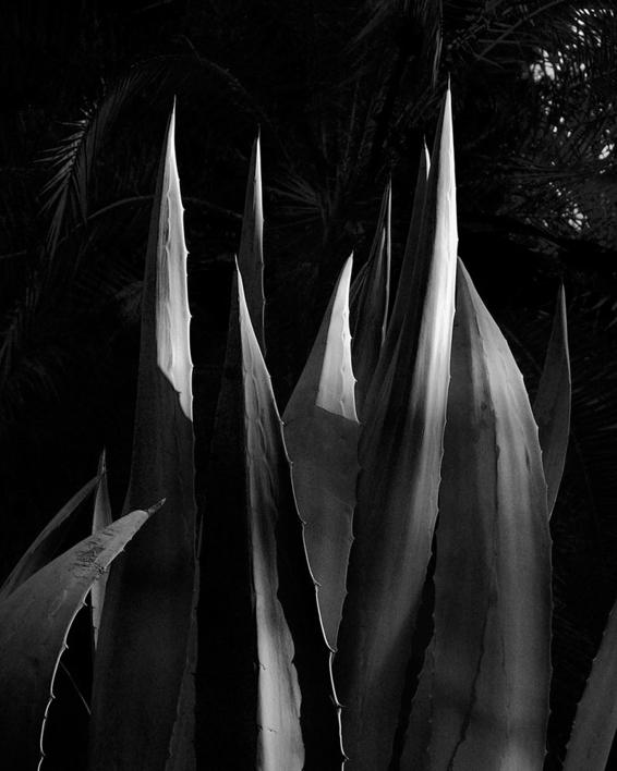 Agave Americana |Fotografía de Andy Sotiriou | Compra arte en Flecha.es