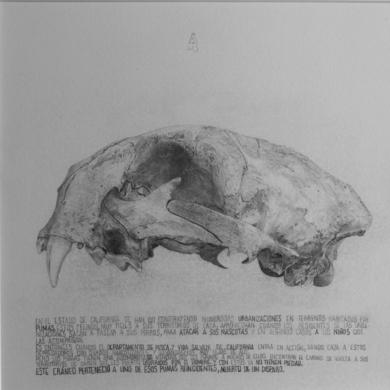 Cráneo de Puma|DibujodeMarta de la Sota| Compra arte en Flecha.es