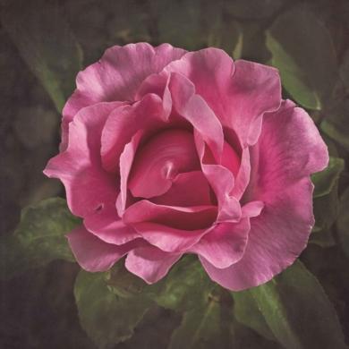 Rosa Rosa|FotografíadeEva Ortiz| Compra arte en Flecha.es