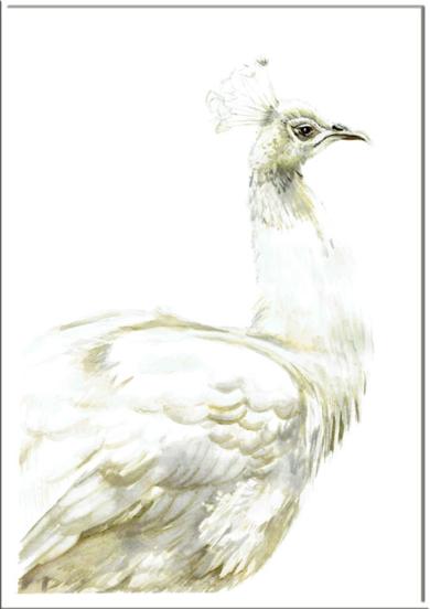 Pavo blanco real|DibujodeMacarena Garví| Compra arte en Flecha.es