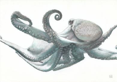 Octopus Vulgaris 02|DibujodeCarlos J. Márquez| Compra arte en Flecha.es
