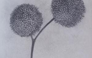 Semillas de plátano de sombra|DibujodeMarta de la Sota| Compra arte en Flecha.es