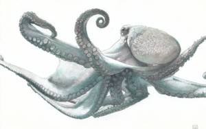 Octopus Vulgaris 02 DibujodeCarlos J. Márquez  Compra arte en Flecha.es