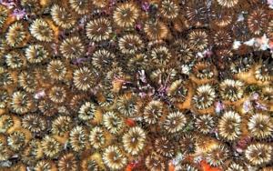 Cladocora caespitosa|FotografíadeBeatriz García Infante| Compra arte en Flecha.es