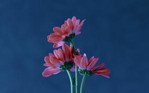 Three daisies|FotografíadeYabar| Compra arte en Flecha.es
