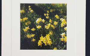 Daffodils│Spring UK│acid-free photo paper│printed and produced in the UK│origin|FotografíadeJHIH YU CHEN| Compra arte en Flecha.es