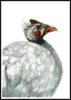 Gallina de Guinea   Pintura de Macarena Garví   Compra arte en Flecha.es