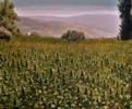 Campo de Kif, Shauen (Marruecos) | Pintura de Fran Jiménez  (Âli Qasim) | Compra arte en Flecha.es